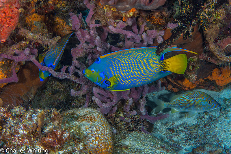 Queen Angelfish, Cozumel, Mexico, Anglefish, photo