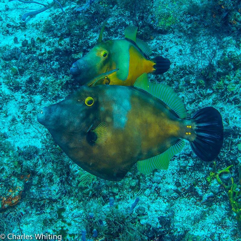 Filefish, Cozumel, Mexico, photo