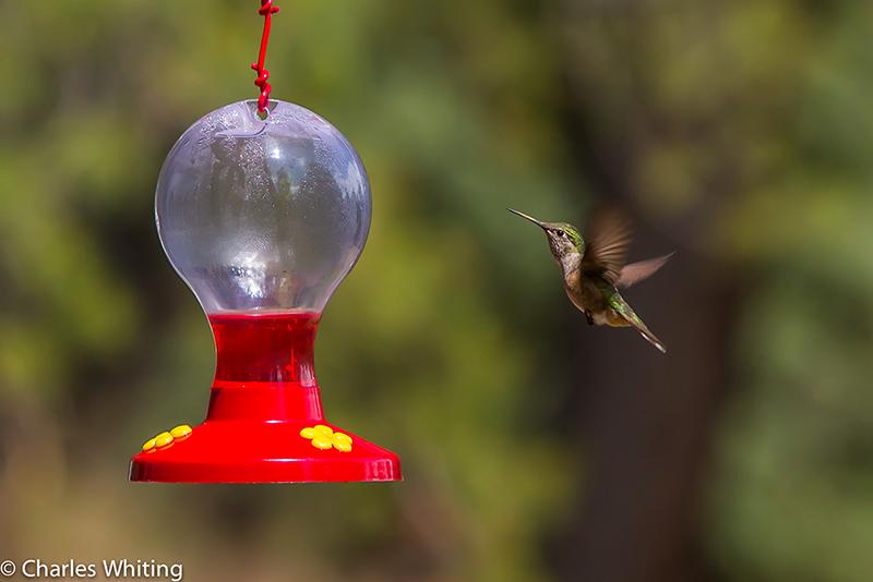 Hummingbird, Black-chinned Hummingbird, Evergreen Colorado, Evergreen, Colorado, photo