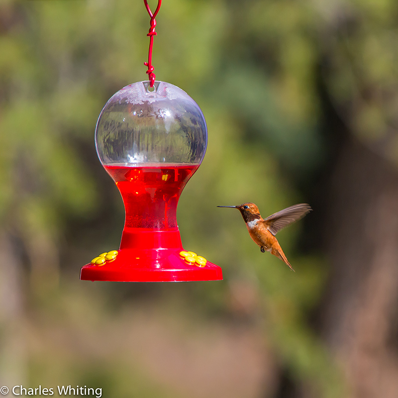 Hummingbird, Rufous Hummingbird, photo