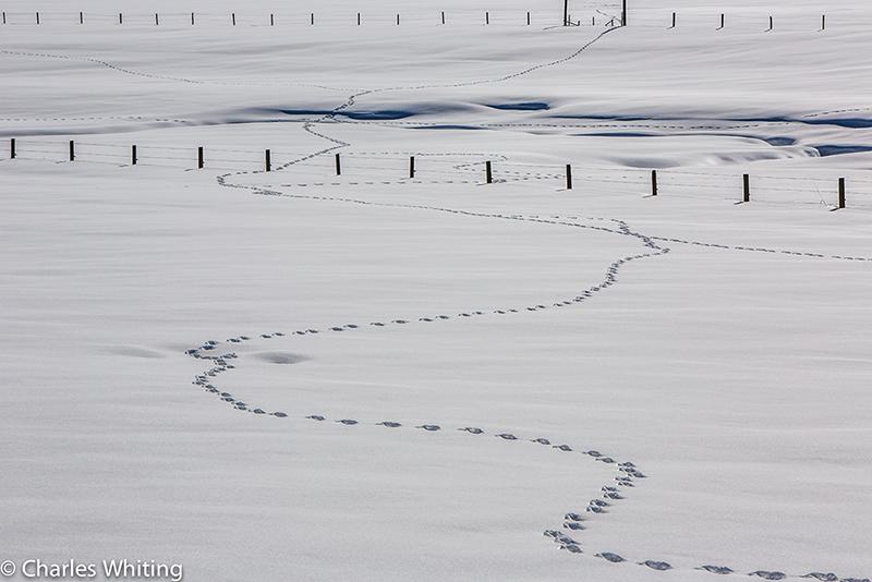 Animal tracks, tracks, snow, white, Steamboat Springs, Colorado, photo