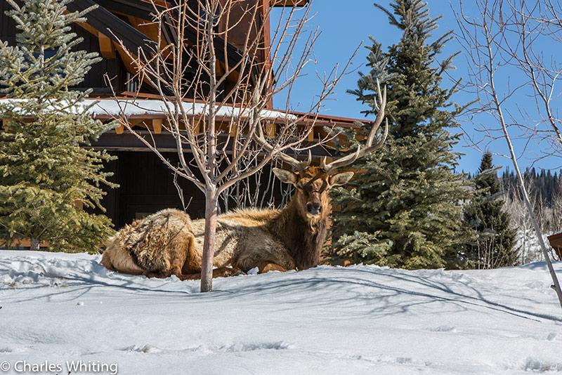 Elk, Bull, Steamboat Springs, Colorado, photo
