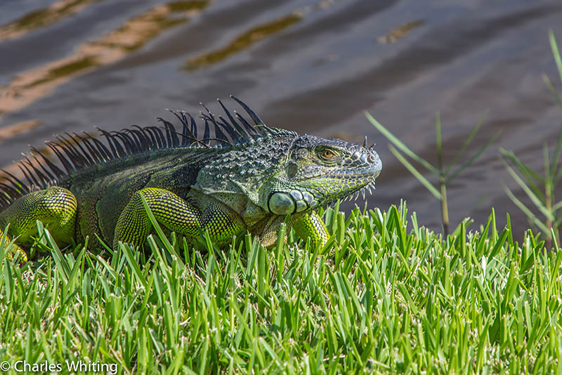 Green Iguana, Deerfield Beach, FL, photo