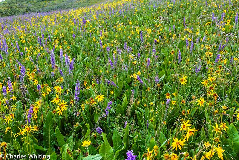 wild flowers, blue larkspur, yellow Aspen Sunflowers, photo