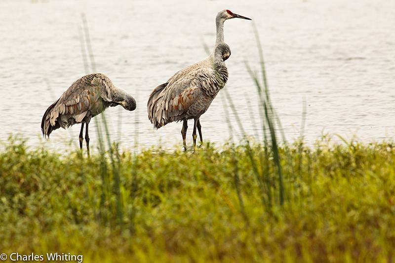 Sandhill Cranes, Myakka River, Sarasota, Florida, wetlands, photo