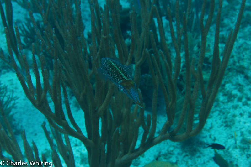 Caribbean Reef Squid, Little Cayman, photo