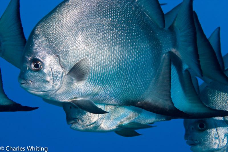 Atlantic Spadefish, Roatan, Honduras, photo