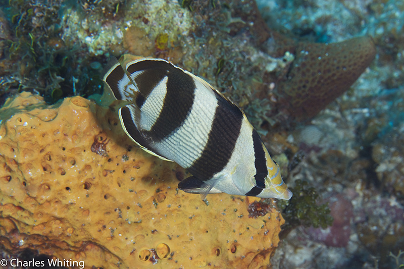 Barred Butterflyfish, Tunicate, Bloody Bay Wall, Little Cayman, Cayman Islands, photo