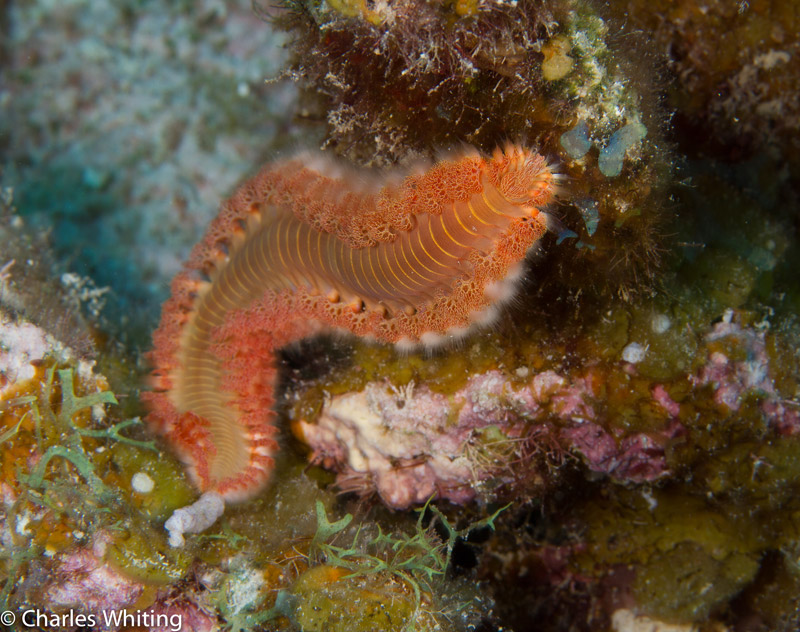 Bristle Worm, Belize, Lighthouse Reef, coral reef, photo
