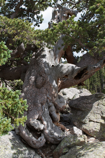 Bristlecone Pine Tree, Lake Haiyaha, Chaos Canyon, Rocky Mountain National Park