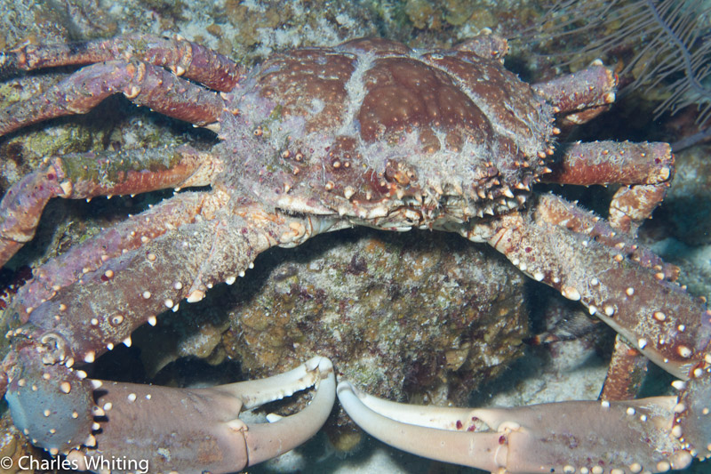 Channel Clinging Crab, Lighthouse Reef, Belize, photo