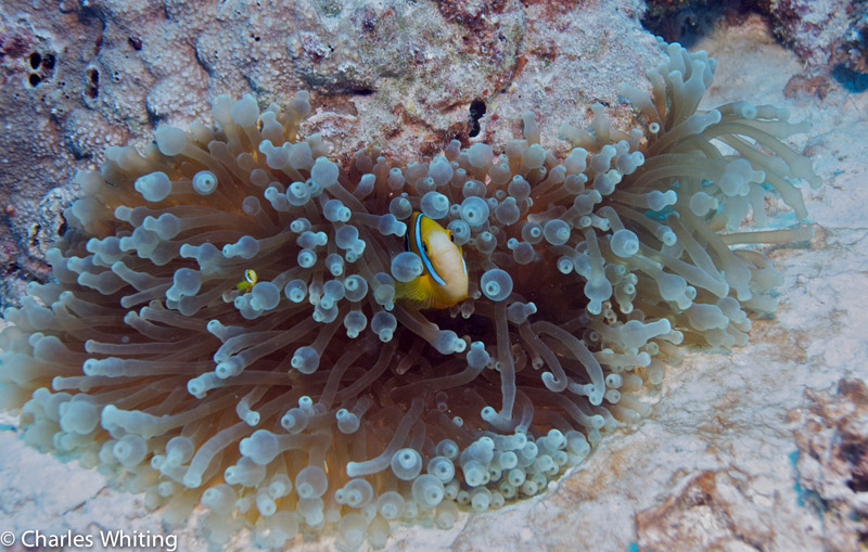 Orange-Finned Anemonefish, Giant Anemone, Bikini Atoll, Marshall Islands, Pacific Ocean, photo