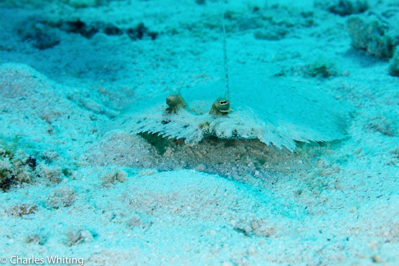 Flounder, Lighthouse Reef, Belize, photo