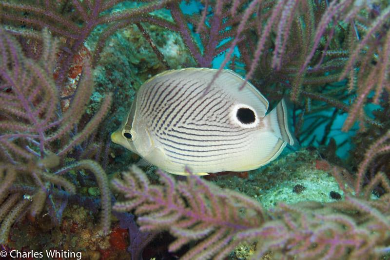 Foureye Butterflyfish, Lighthouse Reef, Belize, photo