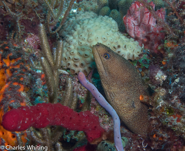 Goldentailed Moray Eel, coral reef, Boynton Beach, Florida, photo