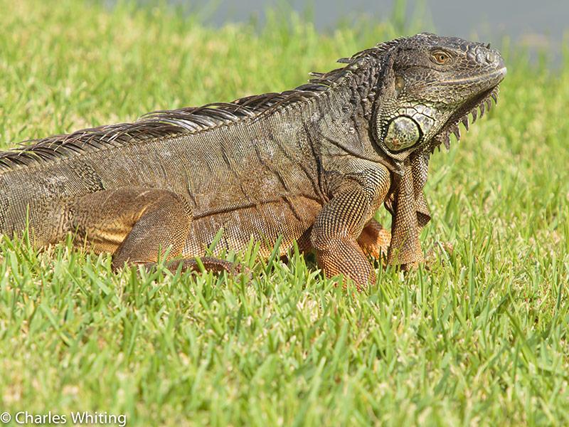 Green Iguana, Deerfield Beach, FL, photo