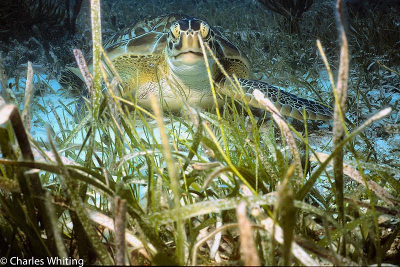 Hawks Bill Turtle, Cay Sal Banks,Bahamas, photo