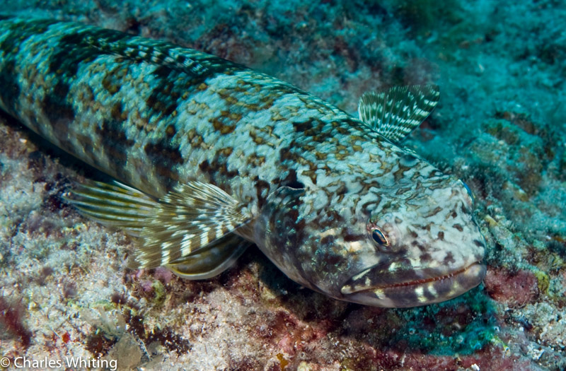 Lizardfish, camouflage, Cay Sal Banks, Bahamas, photo