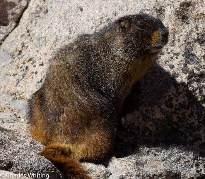 Marmot, Mount Evans, Rocky Mountains, Front Range, photo