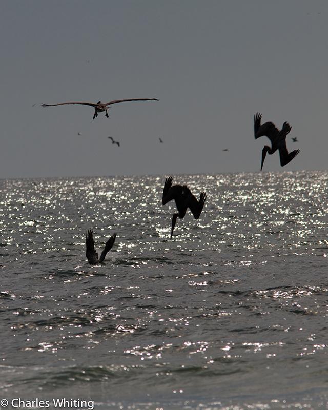 Pelicans, Siesta Key, Sarasota, Florida, photo