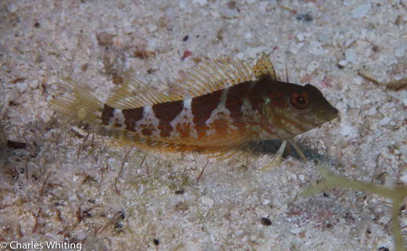 Saddleback Blenny, Boynton Beach, Florida, photo
