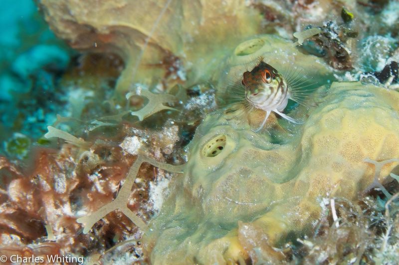 Saddled Blenny, Tunicate, Bloody Bay Wall, Little Cayman, Cayman Islands, photo