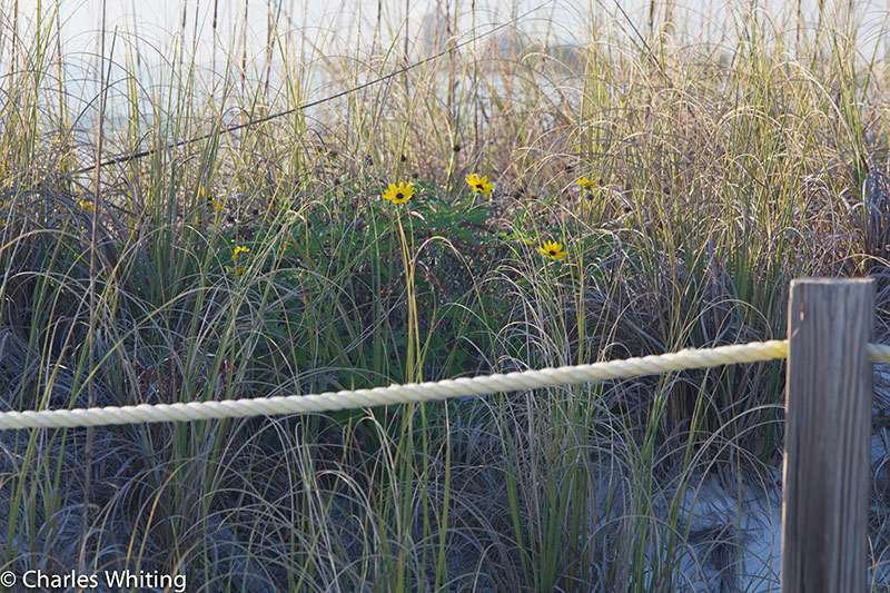sand dune, sea oats, flowers, Siesta Key Beach, photo