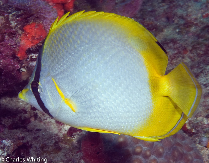 Spotfin Butterflyfish, Boynton Beach, Florida, photo