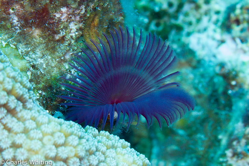 SCUBA, Underwater Photography, Turks and Caicos Islands, Social Feather Duster Worm, photo