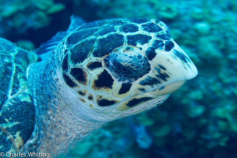 SCUBA, Underwater Photography, Turks and Caicos Islands, Hawksbill Turtle, photo