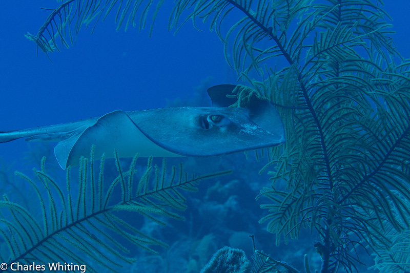 SCUBA, Underwater Photography, Turks and Caicos Islands, Southern Stingray, photo