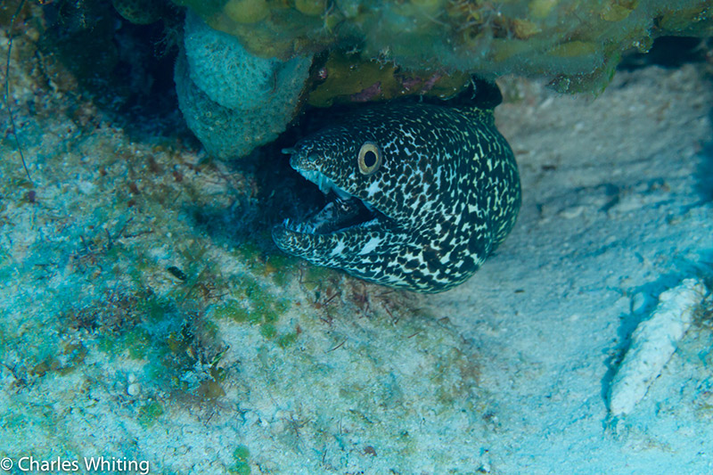 SCUBA, Underwater Photography, Turks and Caicos Islands, Spotted Moray Eel, photo