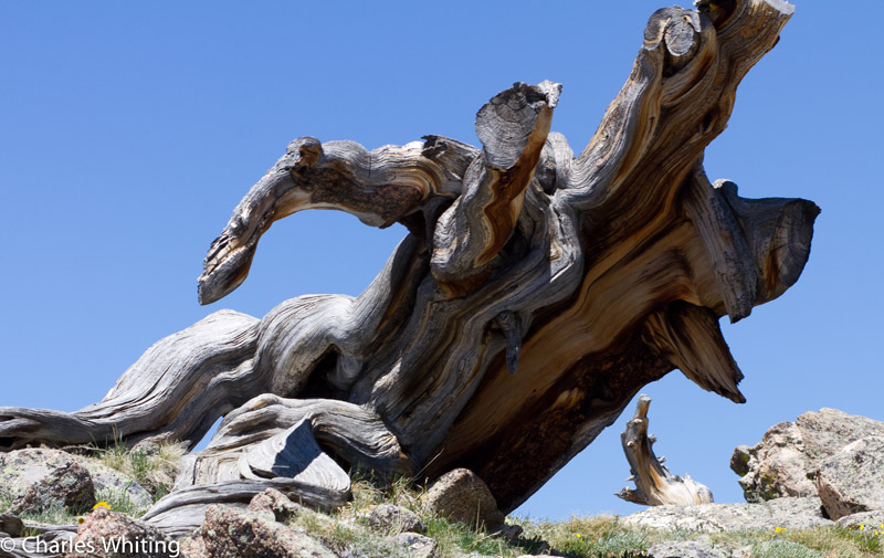 Bristle cone pine tree, wind sculpture, Mount Evans, Front Range, Rocky Mountains, Colorado