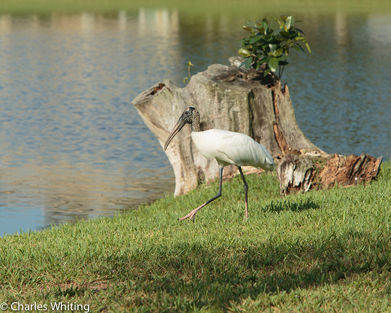 Wood Stork, Deerfield Beach, FL, photo