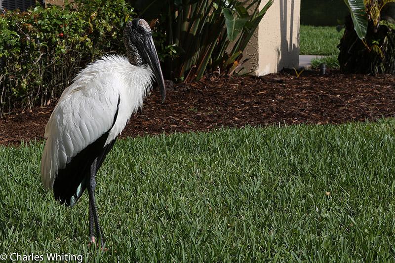 Wood Stork, Deerfield Beach, Florida, photo