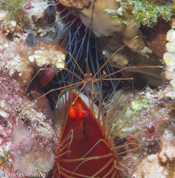 yellowline arrow crab, rough file clam, Cay Sal Banks, Bahamas, photo