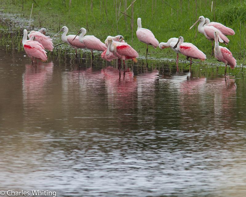 Spoonbills, Myakka RIver, Sarasota, Florida, photo
