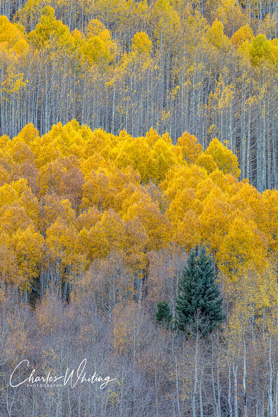 Aspens, Telluride, Colorado, photo