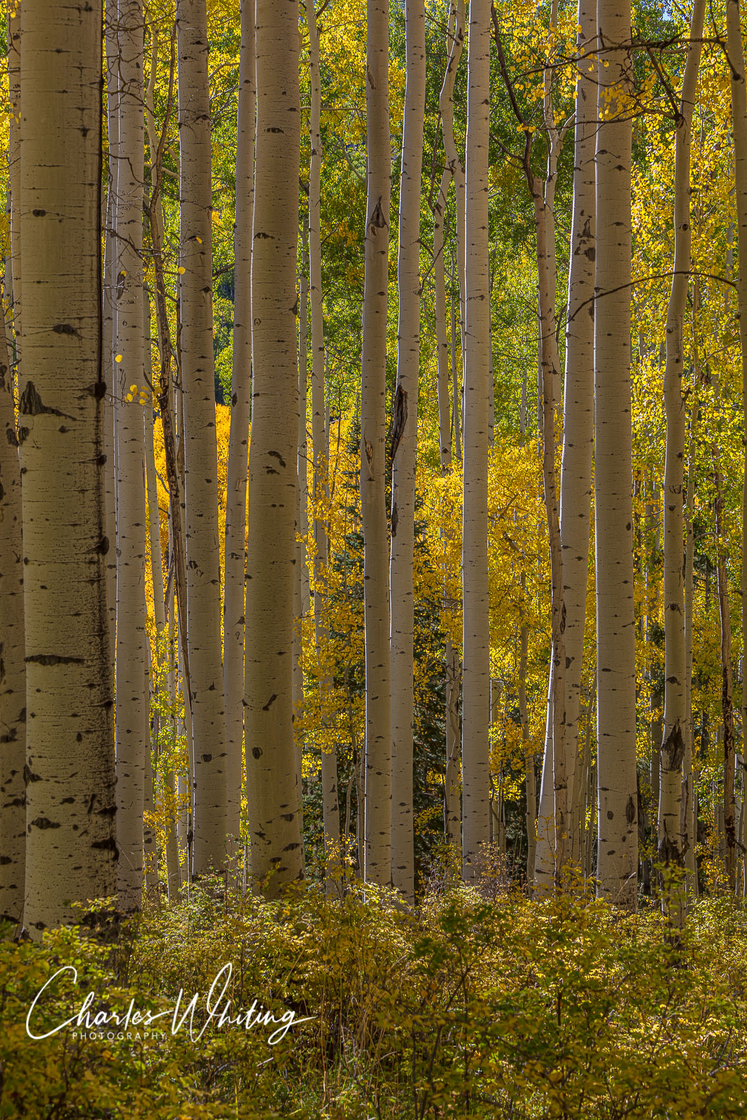 Aspen, Aspen boles, Colorado, photo