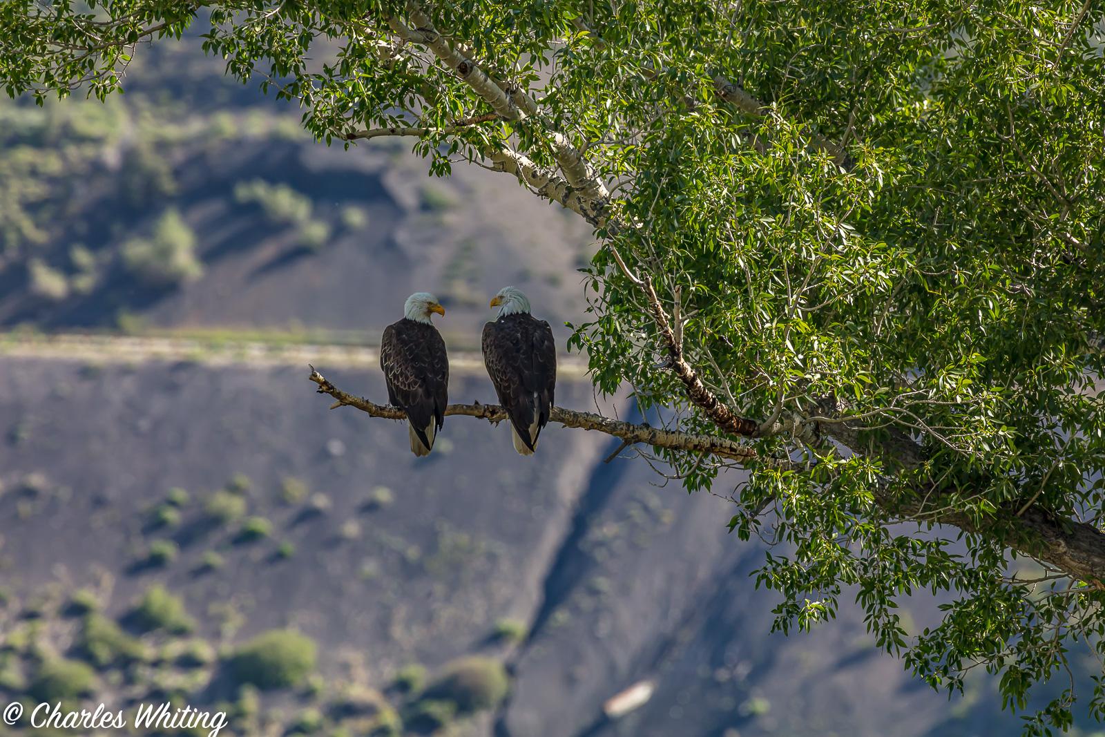 Bald Eagles, Colorado, photo