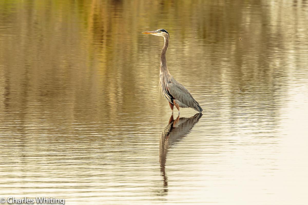Great Blue Heron, Heron, Myakka River, Sarasota, Florida, photo