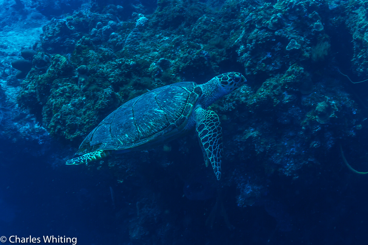 Hawksbill Turtle, Sea Turtle, Turtle, Cozumel, Mexico, photo