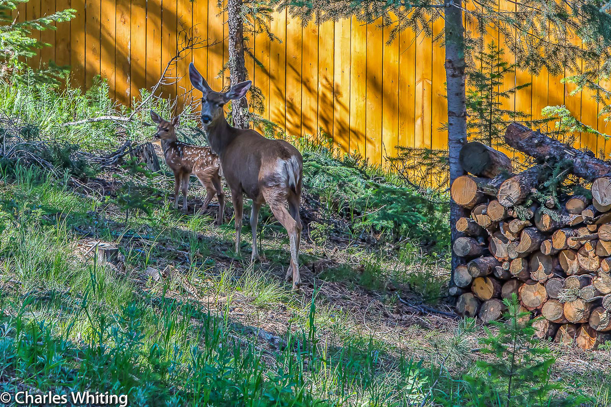 Mule Deer, deer, doe, fawn, Evergreen, Colorado, photo