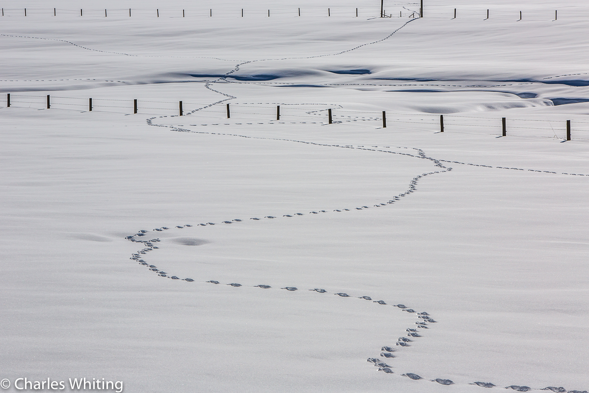 Animal tracks, tracks, snow, white, Steamboat Springs, Colorado, photo