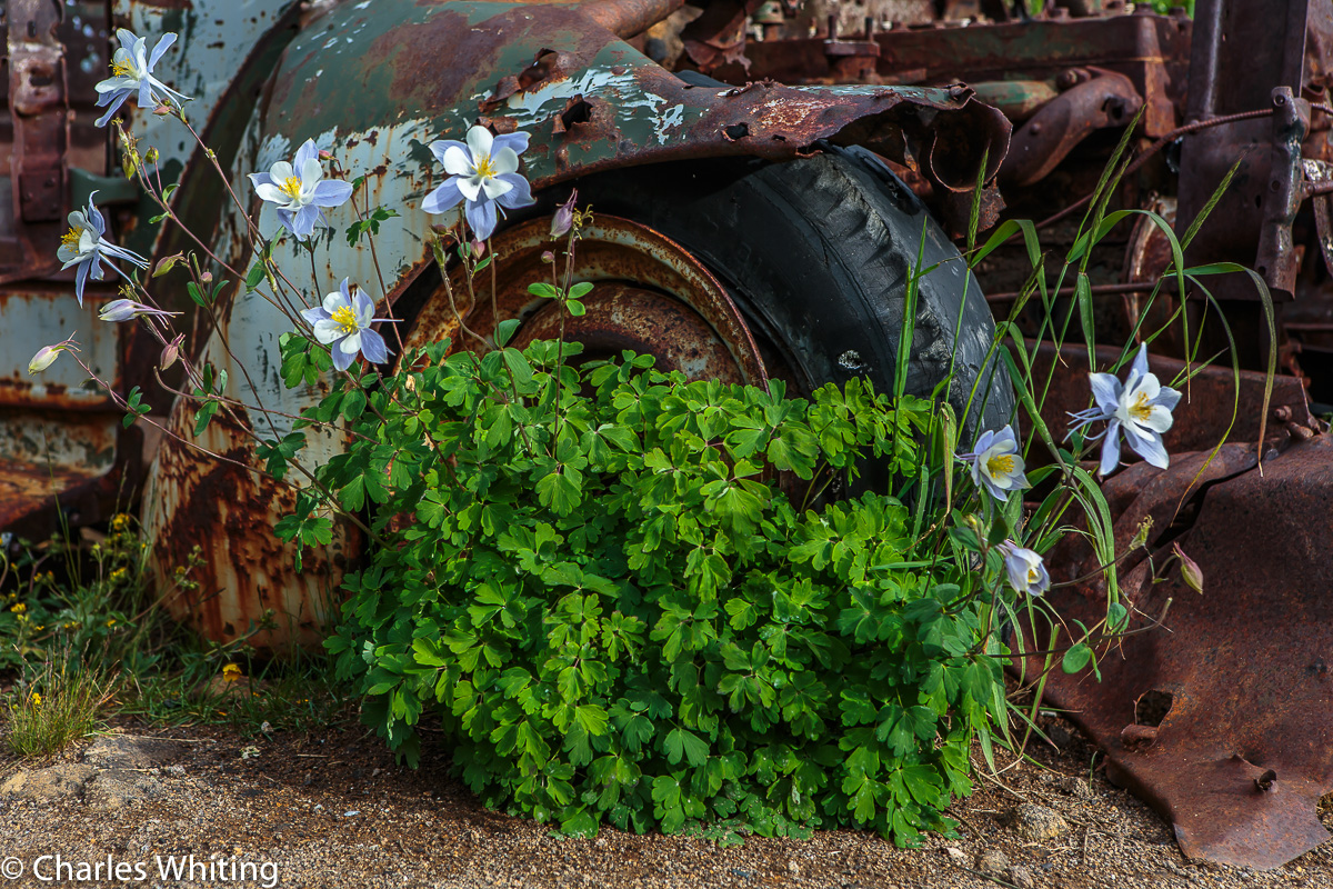 Columbines, Rust, Crested Butte, Colorado, Washington Gulch, photo