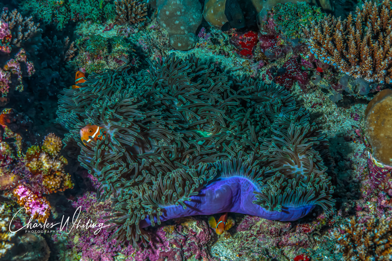 Maldives, Anemonefish, Purple Ring Anemone, photo
