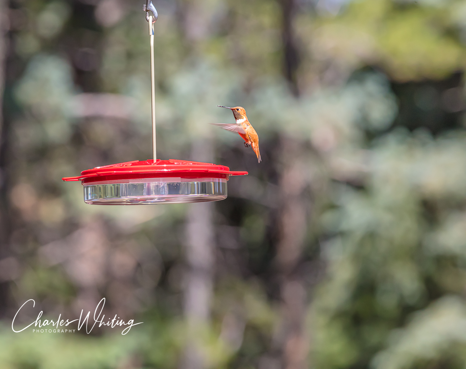 Rufous Hummingbird, Hummingbird, Colorado, photo