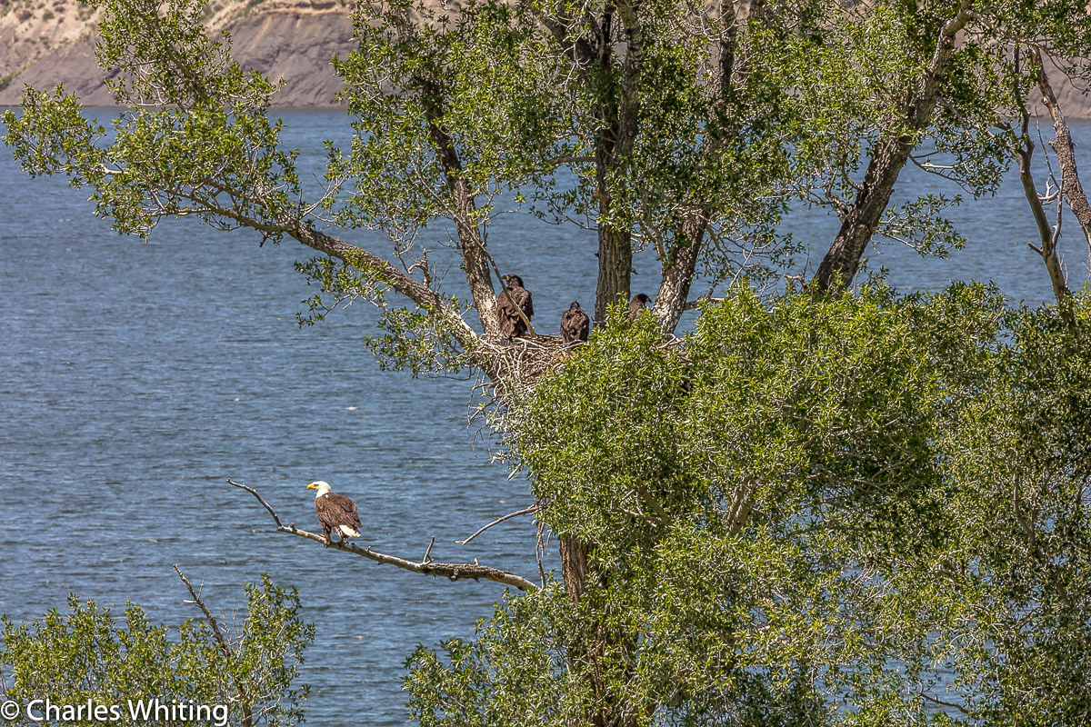 Eagles, Fledglings, Green Mountain Reservoir, Summit County, Colorado, photo
