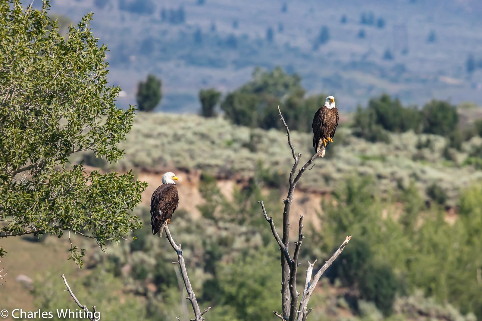 Eagles, Green Mountain Reservoir, Summit County, Colorado, photo