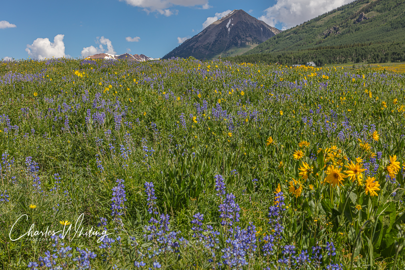Purple Lupine, Aspen Sunflowers, Crested Butte, Colorado, Mount Crested Butte, photo